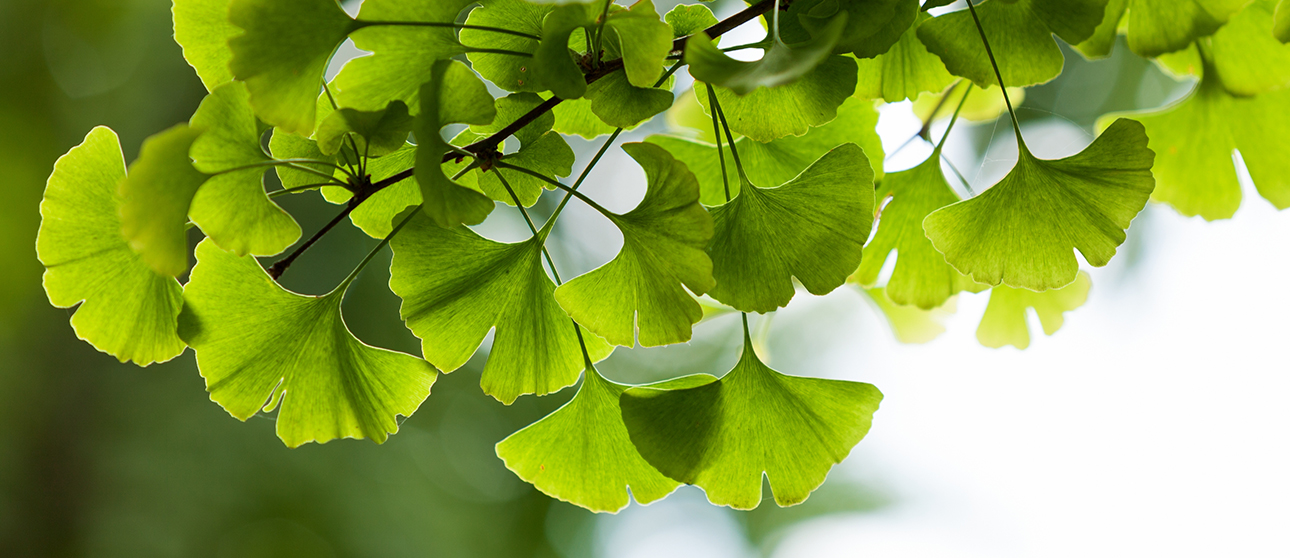 Ginkgo Biloba: An Ancient Herb that's Hard to Forget
