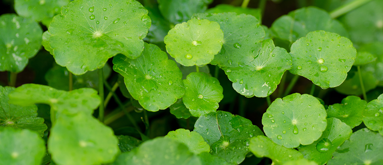 Gotu Kola: An Herb to Remember