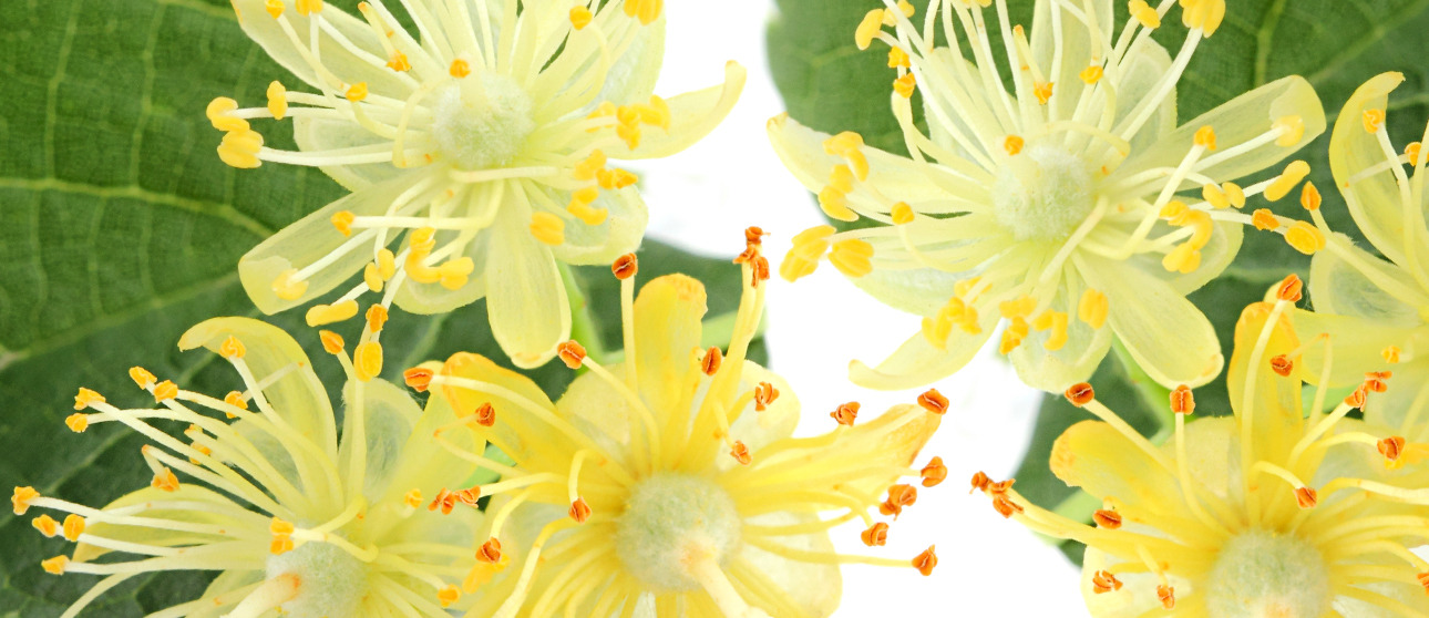 Linden Flower: The Natural Way to Calm Your Nerves