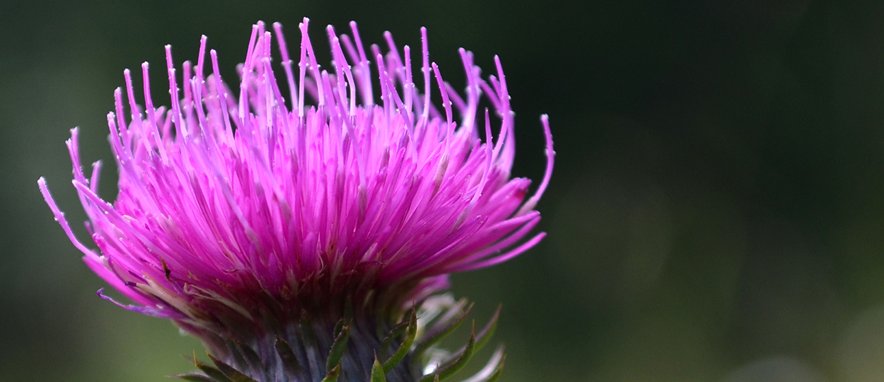 Milk Thistle: Nature's gift to your liver