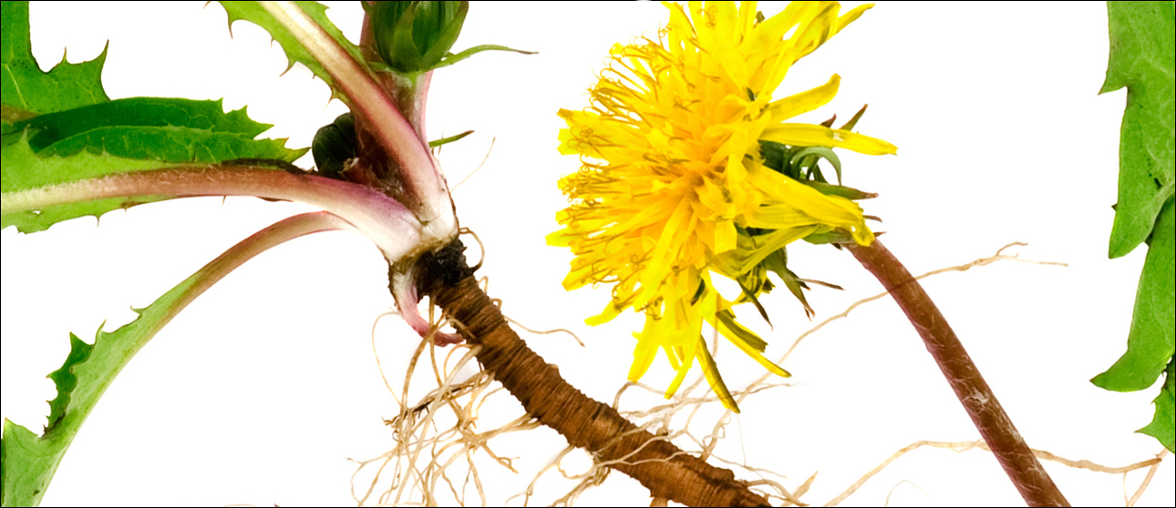 The Dandelion plant has much to offer, specially its roots rich in anti-oxidants.